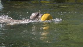 Harbour seal swimming with a ball. Harbour seal Phoca vitulina is playing with a ball stock photo