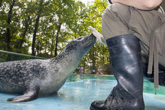 Harbour seal training Stock Photo