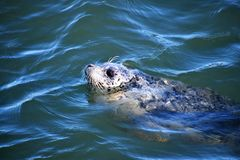 The harbour seal was enjoying the sun. stock image