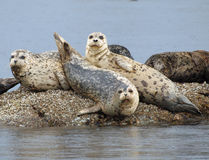 Harbour seals. Group of Harbour seals basking in the sun on the rocks Royalty Free Stock Image