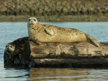 Harbour Seals. Harbor seals lounge on a log in Saanich Inlet on Vancouver Island, British Columbia, Canada Royalty Free Stock Photo