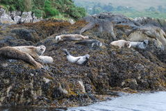 Harbour seals in Bantry Bay Stock Image