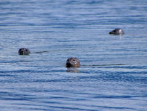 Harbour seals making their way towards the viewer in the Isle of Skye Royalty Free Stock Photography