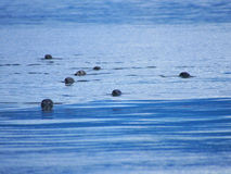 Harbour seals making their way towards the viewer in the Isle of Skye Stock Photos