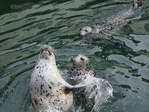Harbour Seals (Phoca vitulina) Royalty Free Stock Image