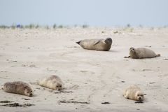 Harbour Seals Phoca vitulina. On a sandbank in the wadden sea at the north sea island Juist in East Frisia, Germany, Europe Royalty Free Stock Image
