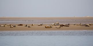 Harbour Seals Phoca vitulina. On a sandbank in the wadden sea at the north sea island Juist in East Frisia, Germany, Europe Royalty Free Stock Images