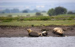 Harbour Seals on Sand Bank. This shot of three Habour Seals was captured at Seal Sands, Hartlepool, England, UK Stock Photography