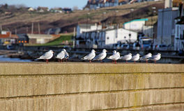 Harbour wall seagulls Stock Photos