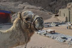 Hard Basket Muzzle for camel to Inhibits biting and chewing stock photo
