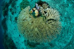 Hard branching coral. Top view of a hard branching coral and some colorful tunicates. Photographed in Raja Ampat, Indonesia stock images