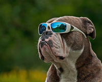 Hard Bulldog in sunglasses. A tough blue brindle Olde English Bulldog with sunglasses on forehead Royalty Free Stock Photography
