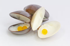 Hard clam Royalty Free Stock Photography