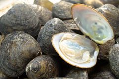 HARD CLAM Stock Image