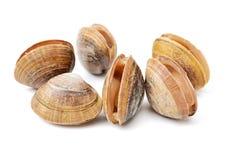 Hard clam, quahog. Isolated on the white background stock images