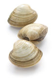 Hard clam, quahog Stock Photography