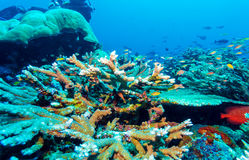 Hard Colorful Corals at sea Bottom, Bali, Indonesia. Colorful Tropical Reef Landscape with Hard Corals, bali, Indonesia Royalty Free Stock Photography