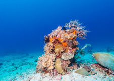 Hard Colorful Corals at sea Bottom, Bali, Indonesia. Colorful Tropical Reef Landscape with Hard Corals, bali, Indonesia Royalty Free Stock Image