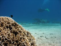 Hard coral. With diver in background stock photo