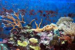 Free Hard Coral Royalty Free Stock Image - 15291156