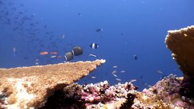 Hard coral acropora underwater and amazing butterfly fish in Maldives. Unique video footage. Abyssal relax diving. Natural aquarium of sea and ocean. Beautiful stock footage