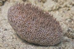 Hard coral macro Royalty Free Stock Image