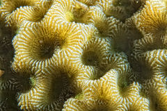 Hard coral macro detail while diving in Indonesia Stock Images