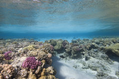 Hard Coral Reef plate Royalty Free Stock Photos