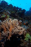 Hard coral on the reef - Red Sea Stock Image