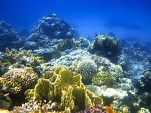 Hard-coral reef in Red sea Stock Image