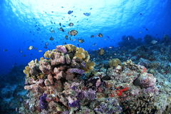 Hard Coral Reef Stock Images
