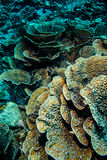 Hard coral reefs in Derawan, Kalimantan, Indonesia underwater photo Royalty Free Stock Photo