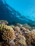 Hard Coral Reefscape. Wide-angle shot of coral reef composed predominantly of Acroporidae royalty free stock image
