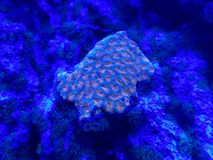 Hard coral in saltwater aquarium. Nature and fauna, underwater view, sea and ocean ecosystem stock photos