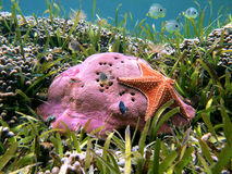 Hard coral and starfish. Starfish on hard coral with school of colorful tropical fish, Caribbean sea Stock Images