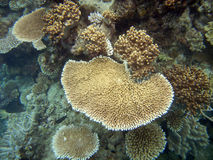 Hard corals at the Great Barrier Reef Royalty Free Stock Photos