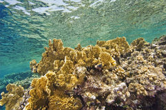 Hard corals on a shallow reef Royalty Free Stock Photo