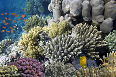 Hard corals and Tropical fish in the Red Sea Royalty Free Stock Photo