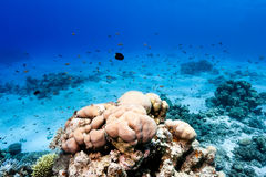 Hard corals and tropical fish on a reef Stock Images