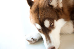 Hard core brown dog Royalty Free Stock Images