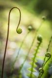 Hard Fern Blechnum Spicant. In Scottish Forest stock image