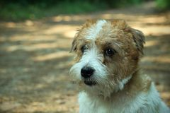 Hard haired pedigreed furry obedient sad Jack Russell Terrier view closeup royalty free stock photo