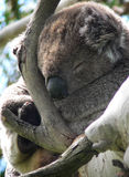 A Hard Life!. Sleeping koala royalty free stock image