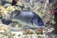 Hard-lipped barb, Lipped barb, Nilem carp or Orange shark. The image of the fish in local aquarium Stock Images