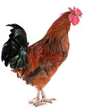 Hard look rooster Stock Image