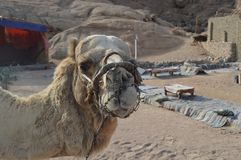 Tours- Camel ride at bedouin village. Hard muzzle for camel to Inhibits biting and chewing royalty free stock photography