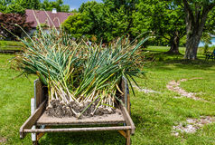 Hard-neck garlic harvest. A harvest of Hard-neck garlic in a garden cart Stock Images