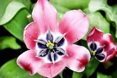 Hard pink tulips. The Hard pink tulips on the field stock photos
