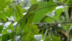 Hard rain falling on leaf in garden. Hard rain falling on leaf in the garden stock video footage