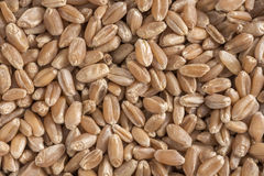 Hard red wheat berries Royalty Free Stock Images